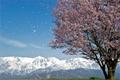Sakura-Snow