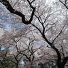 小金井桜 #1