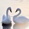 LOVE  SWAN