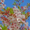 散り始めの桜と蜂