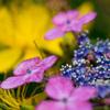 紫陽花と ビョウヤナギ