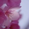 麗花  -桜ー