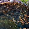 秋の菊池渓谷#2