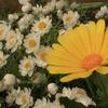 庭の花 黄白