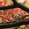 秋雀 食えぬ紅葉を つつきけり