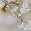 春爛漫、花見鳥