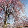 花畑公園の桜2