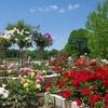薔薇園-長居植物園 7