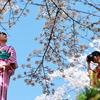 インクラインの桜と青空とカメラ女子と