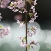枝垂れ桜と玉ボケ