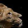 ライオン物語3 ポートレート
