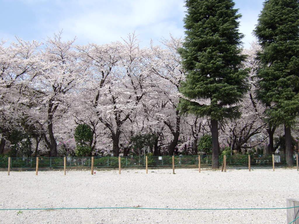 調公園の桜