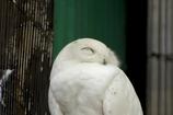 笑顔の白梟