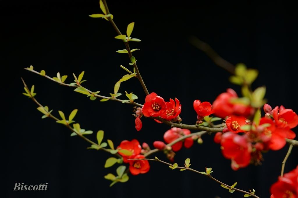 濃紅の木瓜