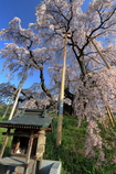 三春滝桜5