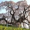 三春滝桜1