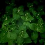 PENTAX PENTAX K-7で撮影した植物(めだたずに)の写真(画像)