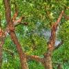マンションの木2