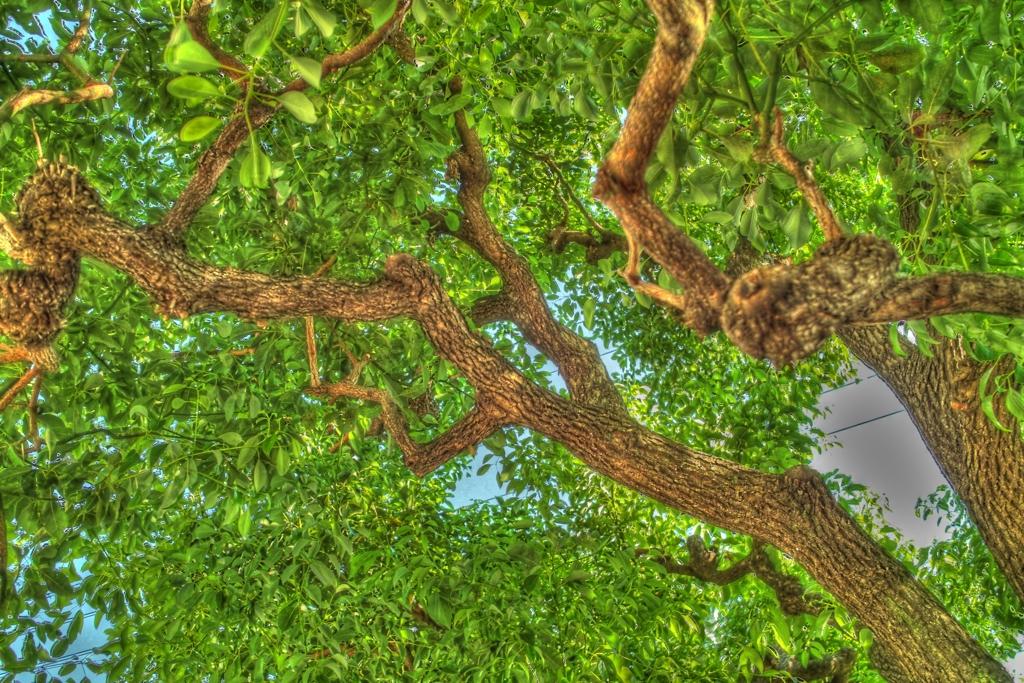 マンションの木1