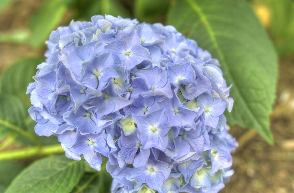 住吉公園 紫陽花