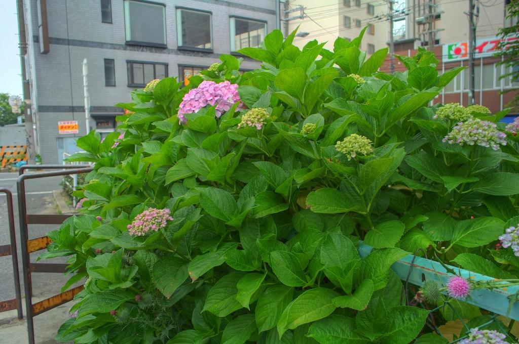 近所の紫陽花2