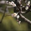 梅の花 IMG_2062m