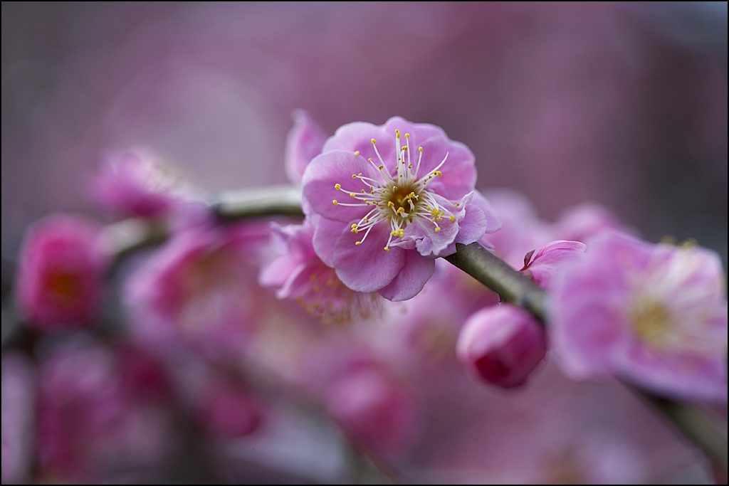 梅の花 IMG_2038m