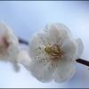 梅の花 IMG_2034m
