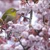 メジロと緋寒桜 IMG_1745m