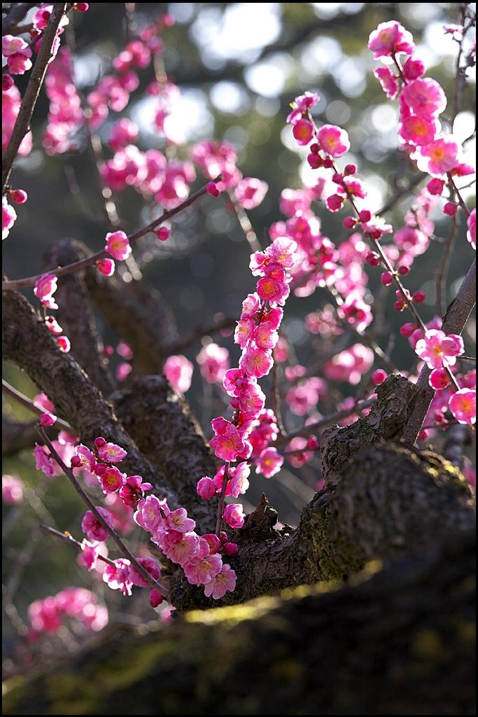 梅の花 IMG_2009m