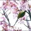 メジロと緋寒桜 IMG_1779m