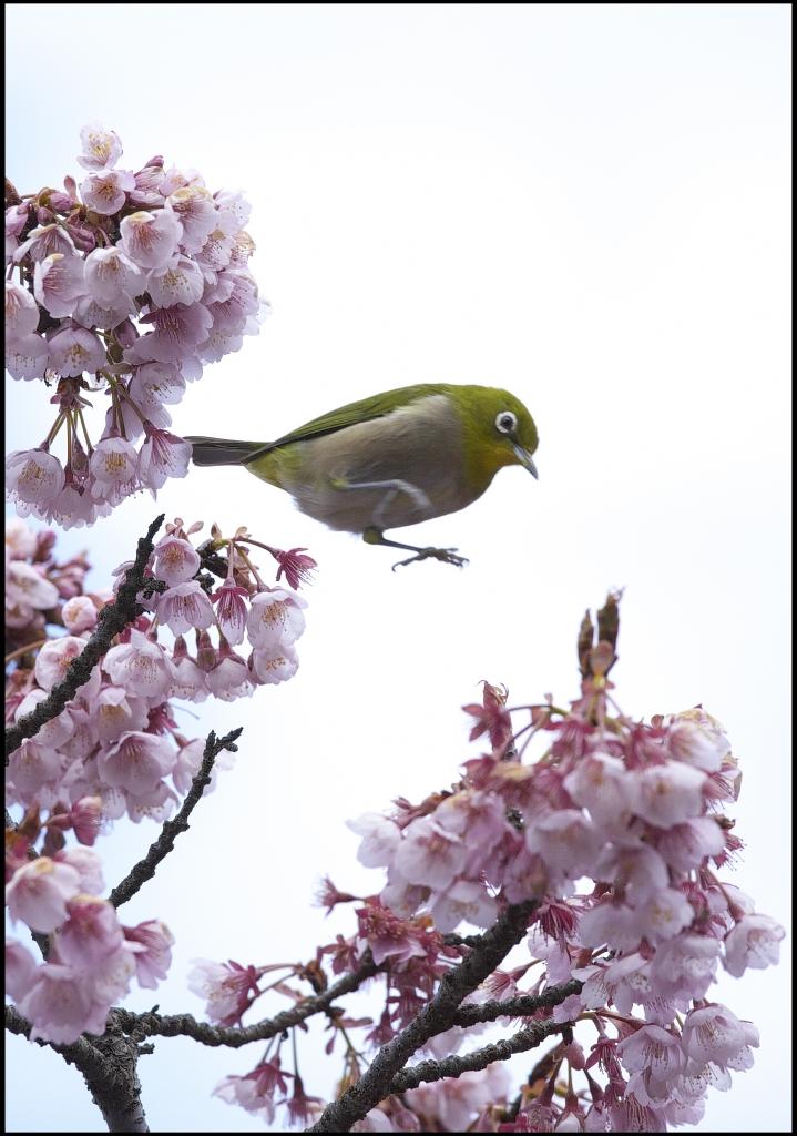 メジロと緋寒桜 IMG_1769m