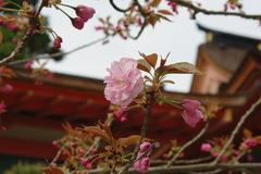 八重桜-1