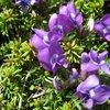 駒ヶ岳の高山植物1