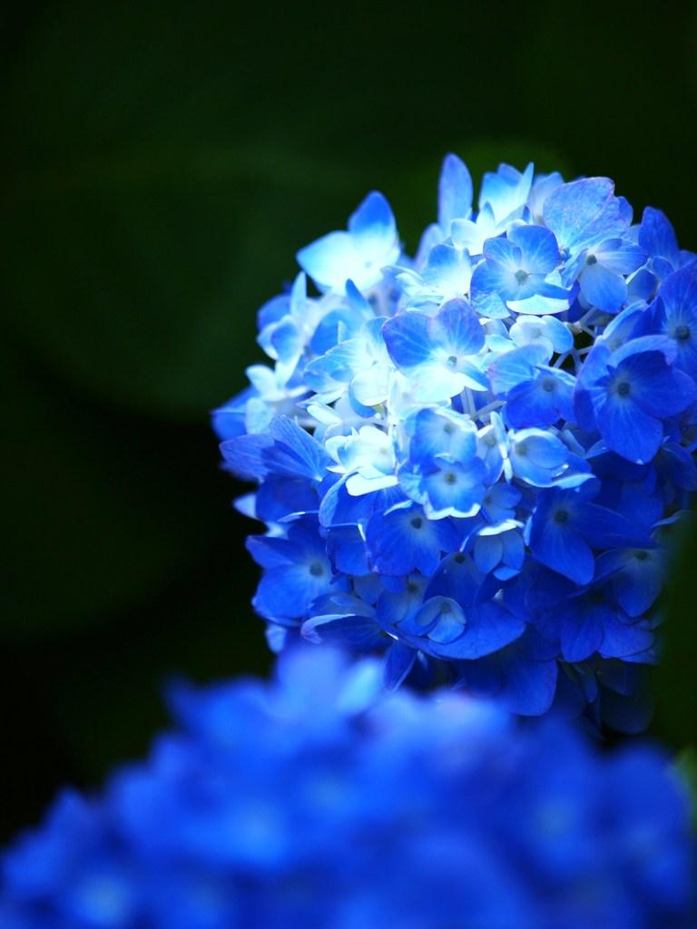 青いアジサイ 5