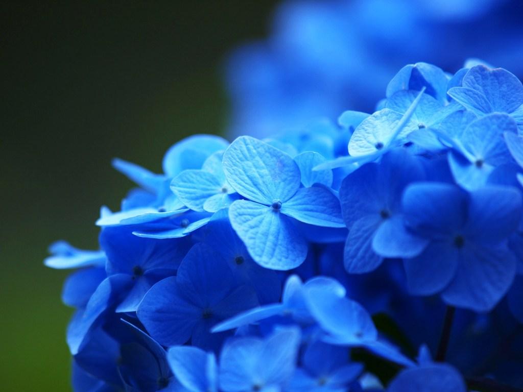 青いアジサイ 2