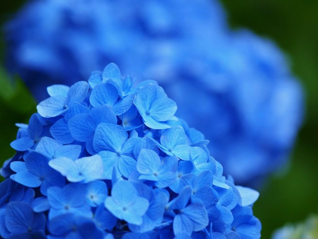 青いアジサイ 3