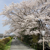 2008年の桜1