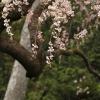 秋葉の枝垂桜