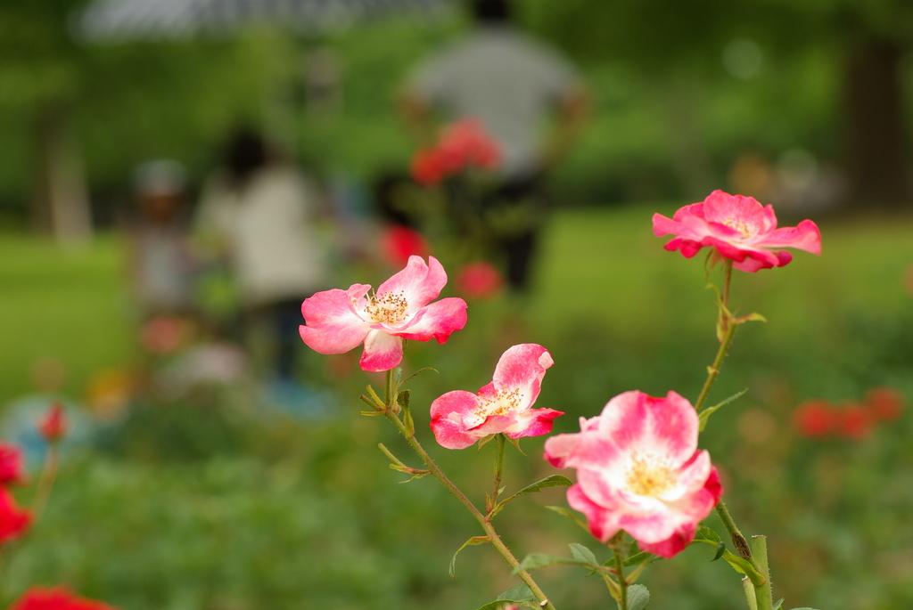 公園のバラ
