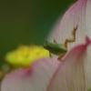 蓮の花に蛙