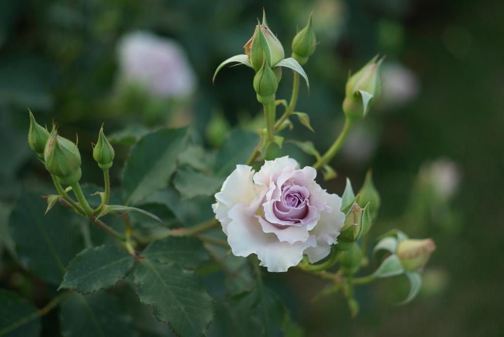 静かな薔薇