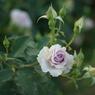 PENTAX PENTAX K10Dで撮影した植物(静かな薔薇)の写真(画像)