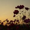 夕暮れの秋桜