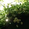 PENTAX PENTAX K10Dで撮影した植物(モッコウバラ)の写真(画像)
