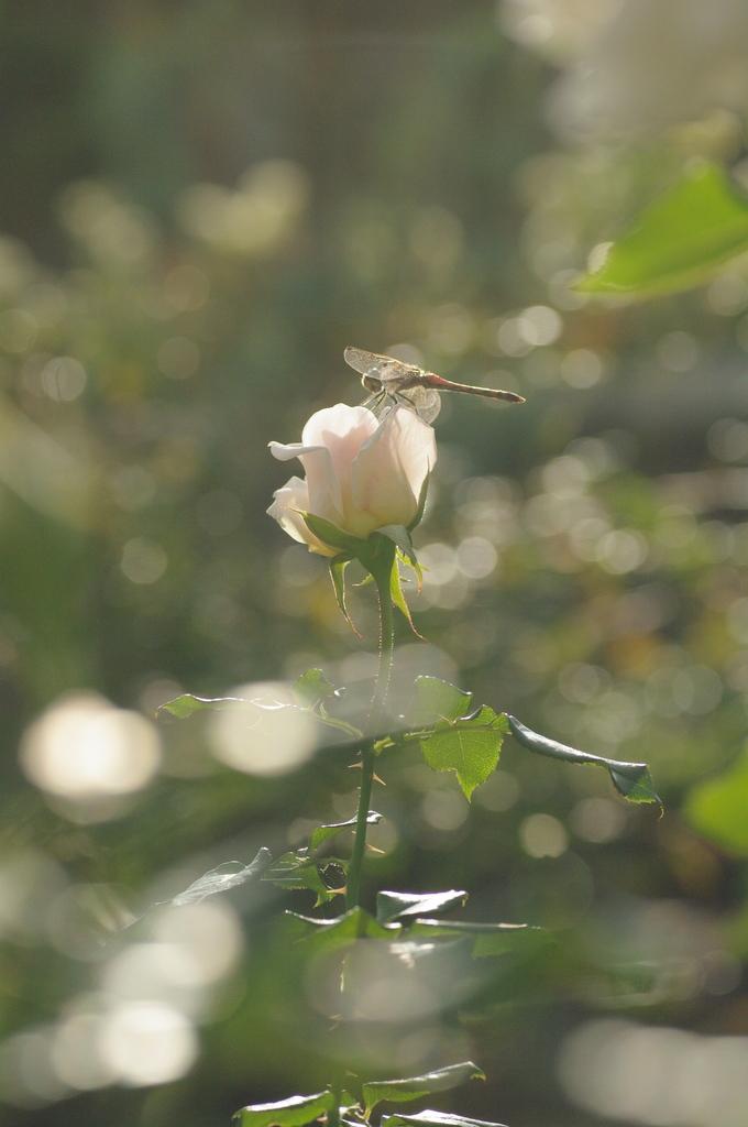 秋の白バラとトンボ
