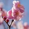 まだ梅の春