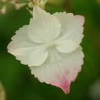 PENTAX PENTAX K10Dで撮影した植物(あじさい)の写真(画像)