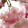 PENTAX PENTAX K10Dで撮影した植物(龍野城址の枝垂れ桜)の写真(画像)