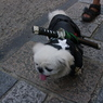 PENTAX PENTAX K20Dで撮影した動物(忍犬)の写真(画像)